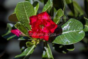 Double red flower of Adenium obtusum, African Desert Rose, a drought tolerant plant.