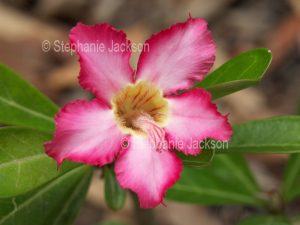 Flower of Adenium obtusum, African Desert Rose, a drought tolerant plant.