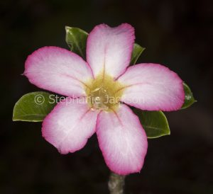 Pink and white flower of Adenium obtusum 'Pretty Pink', African Desert Rose, a drought tolerant plant., on dark background