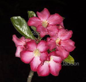 Cluster of deep pink / red flowers of Adenium obtusum, African Desert Rose, a drought tolerant plant. on black background
