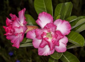 Double pink and white flowers of Adenium obtusum, African Desert Rose, a drought tolerant plant.