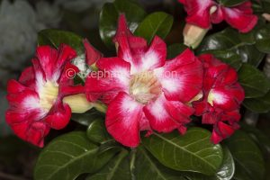 Red and white flowers of Adenium obtusum, African Desert Rose, a drought tolerant plant.
