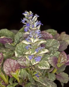 Variegated foliage and small blue flowers of ground cover plant, Ajuga reptans 'Burgundy Lace'. Bugleweed., on black background