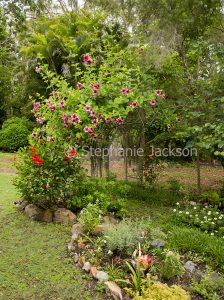 Garden with climber, Allamanda blanchettii growing and flowering on archway, in Queensland Australia.