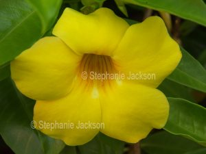 Yellow flower of Allamanda cathartica, a climbing plant.