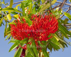 Unusual red flowers of Alloxylon flammeum syn Oreocallis wickhamii, Tree Waratah, an Australian native tree species. against blue sky