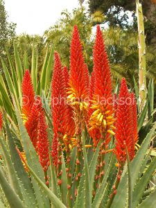 Vivid red flowers and green leaves with serrated edges of Aloe cultivar, a drought tolerant succulent plant