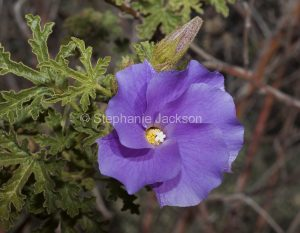 Flower of Aloygyne huelgeli, a native hibiscus, in the Flinders Rangers in South Australia.