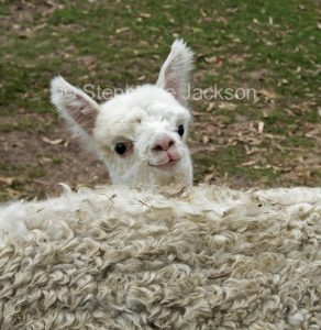 A young alpaca, known as a cria, looking over its mother's back, on an alpaca farm in Queensland Australia.