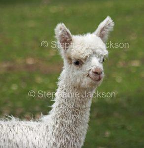 A young alpaca, known as a cria, on an alpaca farm in Queensland Australia.