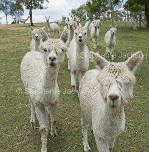 Herd of Suri alpacas on a farm in Queensland Australia.
