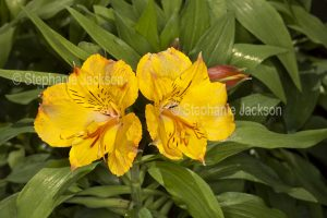 Golden yellow flowers of Alstroemeria 'Ariane', Peruvian Lily / Princess Lily on background of glossy green leaves