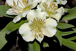 White flowers of Alstroemeria 'Camilla', Peruvian Lily / Princess Lily.