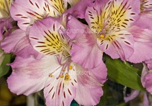 Pink and yellow flowers of Alstroemeria, Peruvian Lily / Princess Lily.