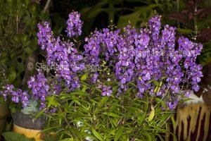 Cluster of purple flowers of Angelonia angustofolia on dark background