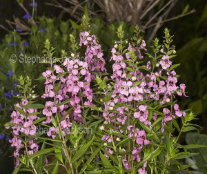Pink flowers and green foliage of Angelonia angustofolia