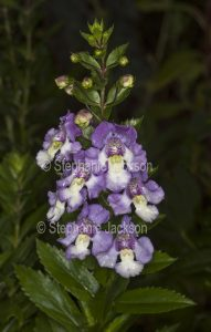 Mauve and white flowers of Angelonia augustifolia 'Angel Face' on background of dark green leaves