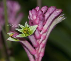 Pink flower of Anigozanthos cultivar 'Pink Joey', Kangaroo Paw on dark green background