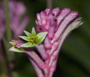 Flower of Anigozanthos 'Little Joey', pink kangaroo paw, an Australian native plant on dark green background.