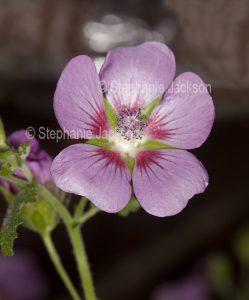 Pink flower of Anisodontea, Cape Mallow hybrid 'Slightly Strawberry'.on dark background