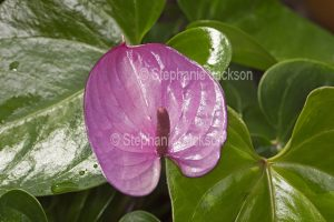 Mauve spathe and spadix with green leaves of Anthurium andreanum 'Cavalli'