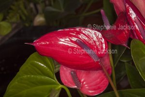 Anthurium andreanum 'Purple Anouk', with red spathe and purple spadix .
