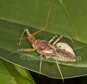 Assassin bug, Pristhesancus plagipennis, on a leaf in a garden in Queensland Australia
