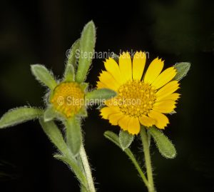 Yellow flower of perennial plant Asteriscus teris on black background