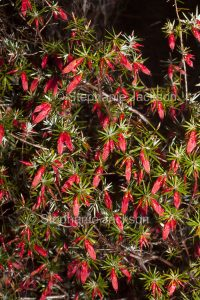 Red flowers of Astroloma conostephioides, Flame Heath at Rupanyup in VIctoria Australia.