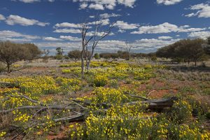 Wildflowers on outback plains of Sturt National Park in north-western NSW Australia.