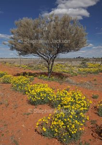 Australian outback landscape, wildflowers and solitary mulga / acacia tree on outback plains of Sturt National Park in north-western NSW Australia.