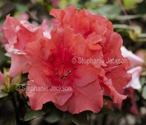 Salmon pink Flower of Azalea indica 'Coral wings'