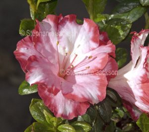 Pink and white flower of Azalea indica 'Gay Paree'