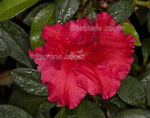 Vivid red flower and dark green leaves of Azalea indica 'Red Wing' with raindrops on petals