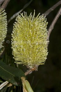 Flower of Banksia serrata, coastal banksia, in Queensland Australia