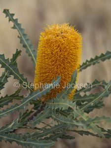 Flower of Banksia ashbyi at Myall Park Botanic Gardens, Glenmorgan, Queensland Australia