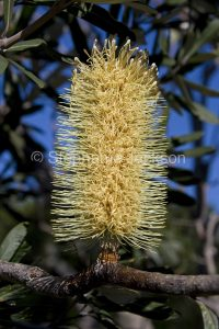 Flower and foliage of Banksia serrata, coastal banksia, in NSW Australia