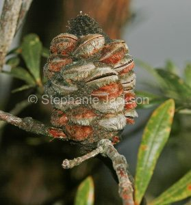 Seed pod of banksia, in Victoria Australia