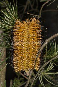 Flower of Banksia spinulosa, Hairpin Banksia, in Morton National Park, NSW, Australia.