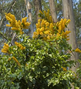 Flowers and foliage of Barklya syringifolia, Crown of Gold Tree, an Australian native plant in Queensland.