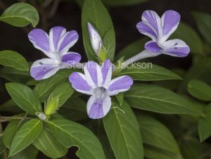 Mauve and white striped flowers and green leaves of Barleria cristata 'Jet Streak'