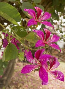 Red flowers of Bauhinia blakeana, Hong Kong Orchid Tree.
