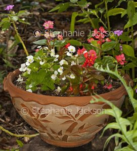 Bedding begonias, Begonia semperflorens, with red and white flowers in decorative terracotta container / pot