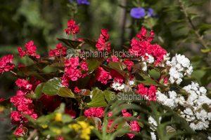 Flowers of bedding begonias, Begonia semperflorens.