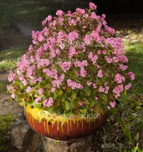 Pink flowers of bedding begonia, Begonia semperflorens, in a container