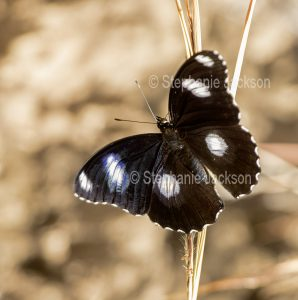Male Blue Moon butterfly, Hypolimnas bolina.