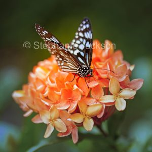 Blue tiger butterfly, Tirumala limniace on apricot orange Ixora flowers in Queensland Australia