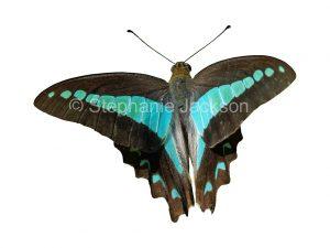 Blue triangle butterfly, Graphium sarpedon, in flight on white background in Queensland Australia