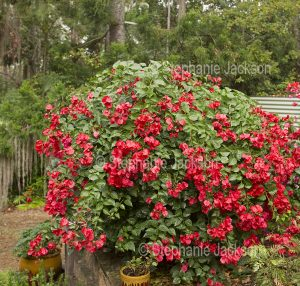 Bright red flowers / bracts and green leaves of bambino / dwarf Bougainvillea 'Jazzi'