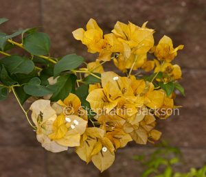 Cluster of orange / yellow flower bracts of bambino / dwarf Bougainvillea 'Siggi.'